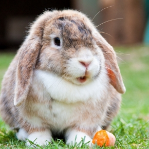 Protect your rabbit against RVHD with Walton Lodge Veterinary Surgery