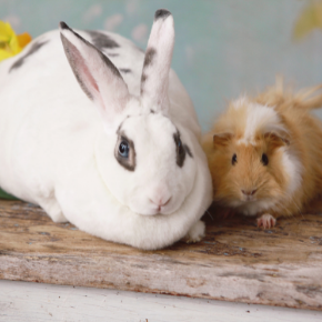 Flystrike and other summer risks for rabbits & guinea pigs