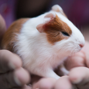 Breeding guinea pigs safely – why age matters